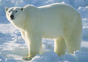 لحظه حیرت انگیز بازی خرس قطبی وحشی با یک سگ + فیلم