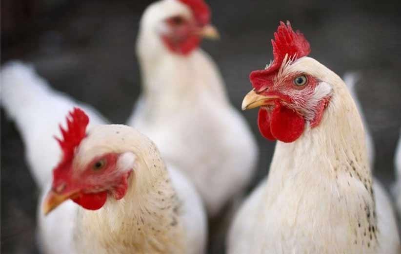 افزایش قیمت مرغ زنده در بازار