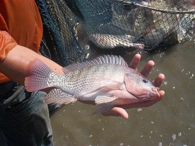 چرا واردات ماهی «تیلاپیا» ممنوع شد؟