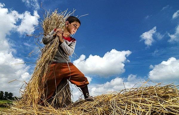 خرید توافقی برنج تاثیری در رونق بازار ندارد/زور برنج خارجی بر داخلی می چربد