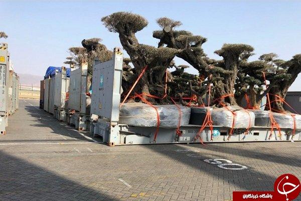 تصویری از «درخت دزدی» اماراتیها