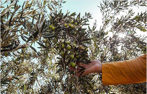 افزیش ۱۰ هزار تن تولید زیتون با اجرای طرح توسعه باغات