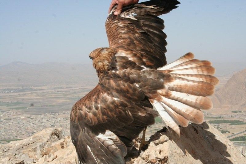رها سازی دو پرنده هوبره و یک عقاب در دل طبیعت