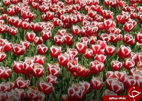 گلهایی که از قیمت یک خانه گرانتر هستند! +تصاویر