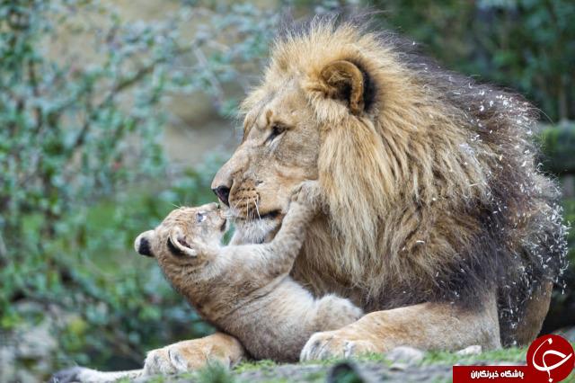 بهترین و بدترین پدرها در میان حیوانات