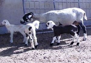 فاز جدید ترکیب ژنتیکی تولید گوسفند پر بازده