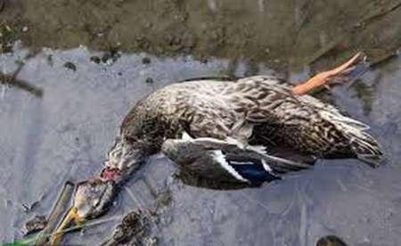 مشاهده لاشه پرندگان مهاجر در دریاچه چیتگر/ تنها یک پرنده مبتلا به بیماری آنفلوآنزا بود