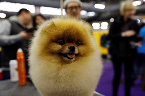 جشنواره سگهای زینتی در نیویورک+ تصاویر