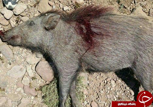 شکارچیان غیرمجاز گراز وحشی در کوهدشت دستگیر شدند