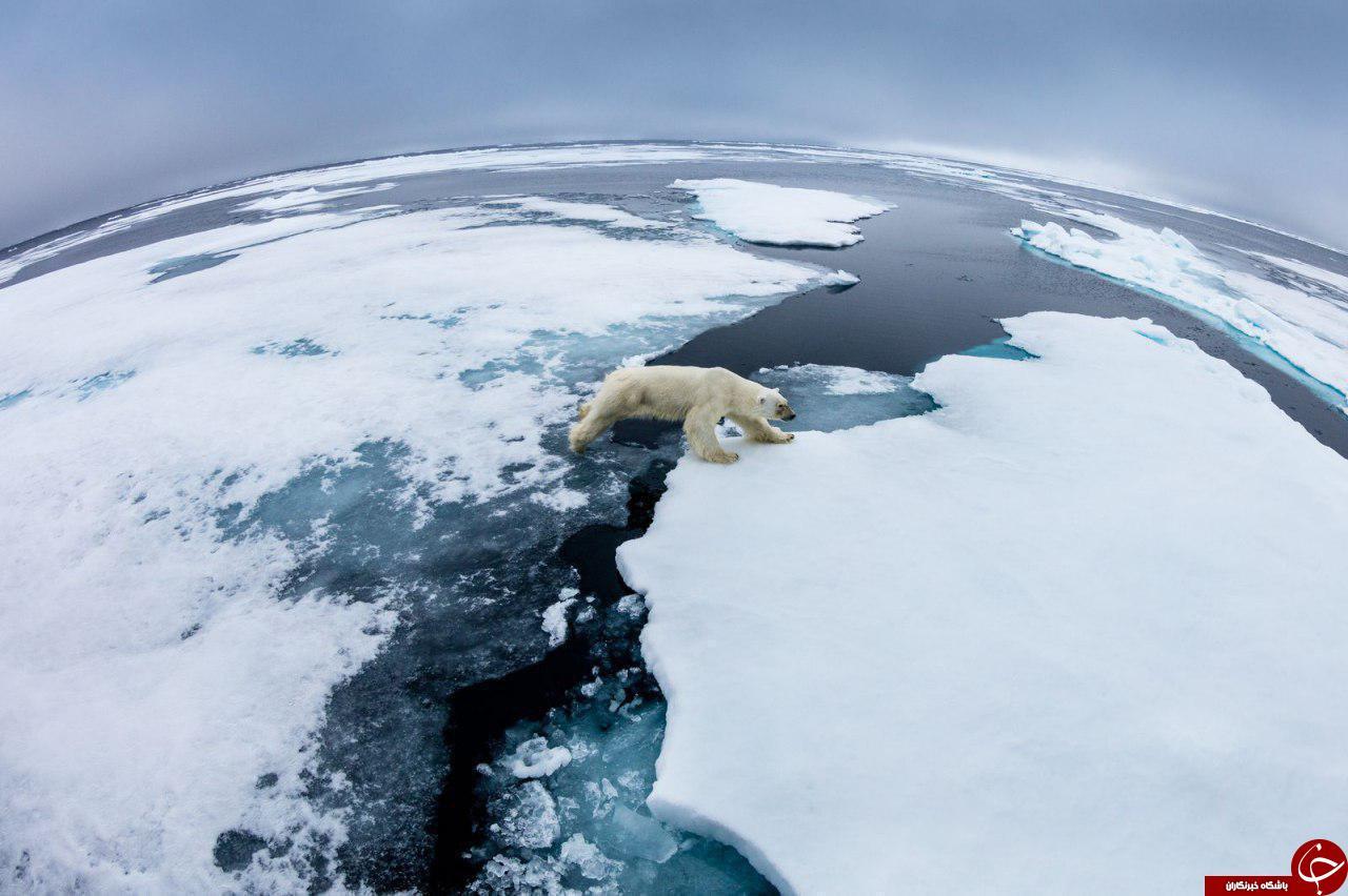خرس قطبی در حال عبور از یخ های شناور+عکس