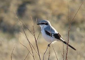 مشاهده و ثبت یک گونه کمیاب پرنده در شهرستان کوثر