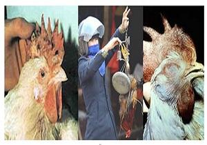 تاکنون گزارشی از انتقال آنفولانزای فوق حاد پرندگان به انسان نداشته ایم