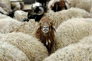 طرح پژوهشی تولید گوسفند پربازده گوشتی و بز شیری در اصفهان