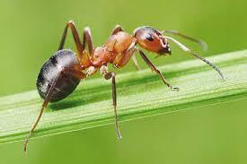 روش جالب مورچهها برای درمان زخم