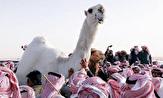 باشگاه خبرنگاران -سعودیها به عزای زیباترین شتر عربستان نشستند +فیلم