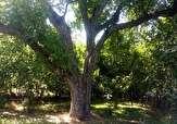 باشگاه خبرنگاران -ثبت ۹ درختان کهنسال قزوین در فهرست ملی میراث طبیعی کشور