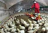 باشگاه خبرنگاران -مشاهده نشدن گزارش آنفلونزای پرندگان در آذربایجان غربی
