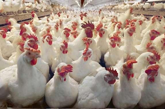 باشگاه خبرنگاران -زنگ خطر آنفلوانزای فوق حاد پرندگان به صدا درآمد/طلاکش: دستگاههای مربوطه به کمک سازمان دامپزشکی نیامدند