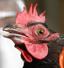باشگاه خبرنگاران -هشدار نسبت به شیوع آنفلوانزای پرندگان