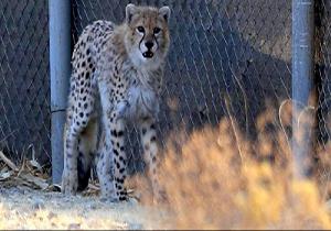 آخرین وضعیت جسمانی توله یوزپلنگ کشف شده در تهران