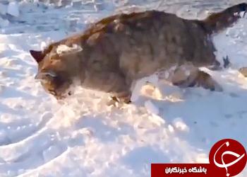 سرمای شدید قزاقستان باعث یخ زدگی حیوانات در حین حرکت!
