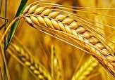 باشگاه خبرنگاران -پیش بینی می شود سال زراعی جاری حدود ۹۰۰ هزار تن گندم در استان تولید شود.