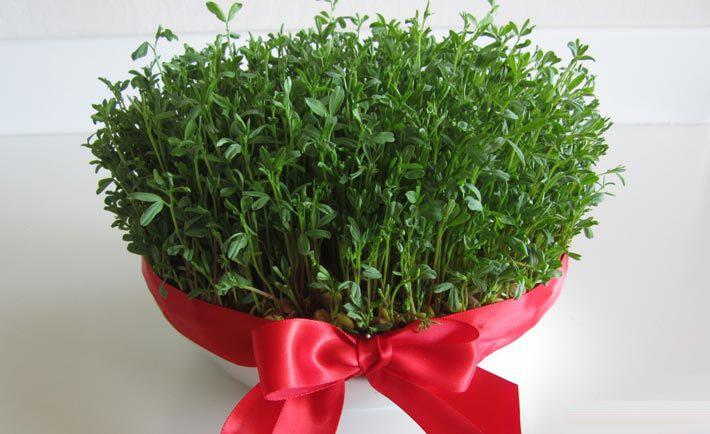 آموزش کاشت انواع سبزه عید نوروز