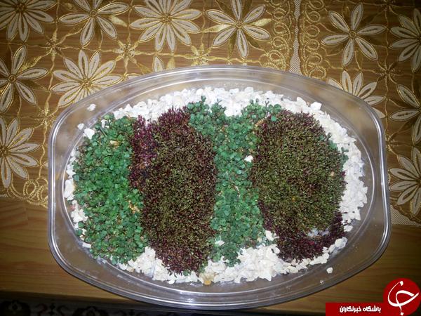 آموزش کاشت انواع سبزه عید نوروز+تصاویر
