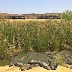 در این روستا تمساح ها در یک قدمی شما هستند! + فیلم