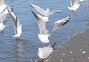 پرواز مرغان دریایی بر فراز دریای خزر + فیلم