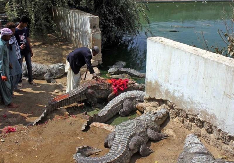 جشنواره «شیدی» و ضیافت بزرگ تمساحها+ تصاویر