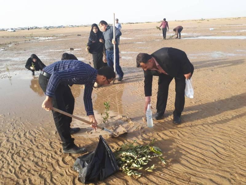 ۱۰۰۰ اصله نهال حرا در ساحل گناوه کاشته گردید