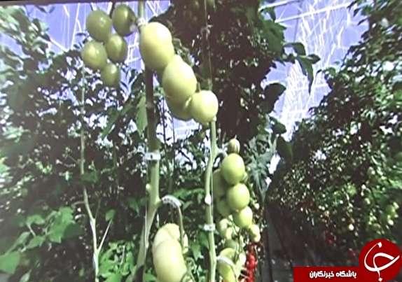 باشگاه خبرنگاران -صادرات تولیدات گلخانه هیدروپونیک خرم آباد به خارج از کشور