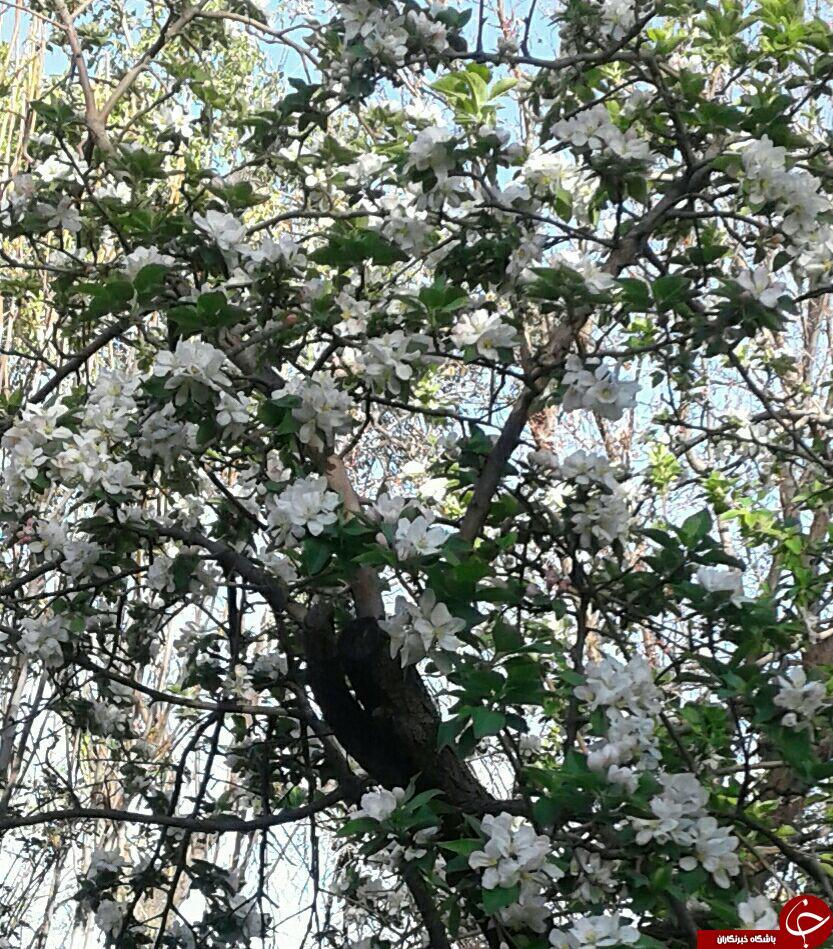 شکوفایی درختان سیب در برایجان + تصاویر