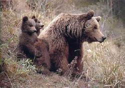 خرس قهوه ای در سال 97 بیمه می شود؟