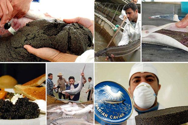 صادرات پرسود ماهیان خاویاری/مروارید سیاه ایران سوگلی جهان شد