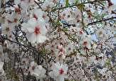 شکوفههای زیبا و بهاری درخت بادام در روستای «جزه» + تصاویر