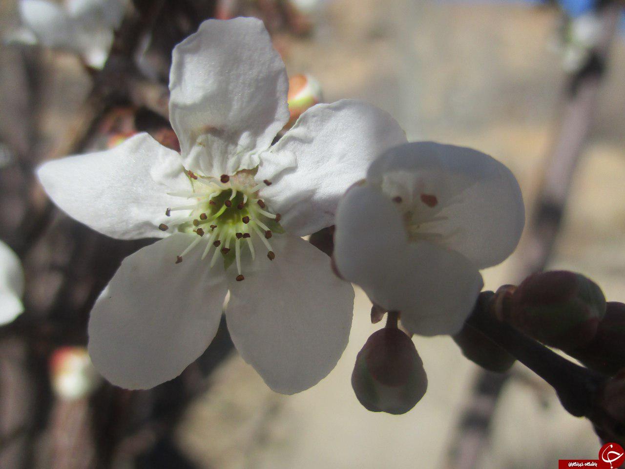 شکوفایی درخت آلوچه در سمیرم + تصاویر