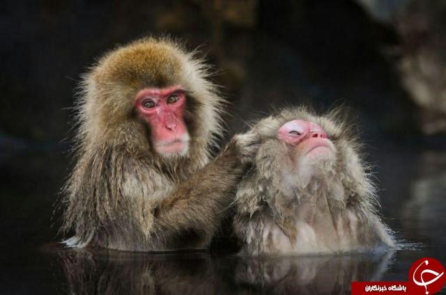 عکس منتخب نشنال جئوگرافیک از میمون برفی