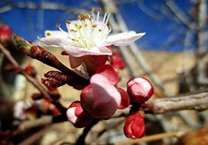 باشگاه خبرنگاران -شکوفایی درختان زردآلو در سمیرم + فیلم