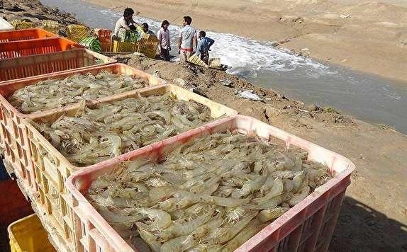 باشگاه خبرنگاران -تولید ۲۴ هزارتن ماهی و میگوی پرورشی و ۳۵ هزار تن غذای آبزیان دربوشهر دستور کار است