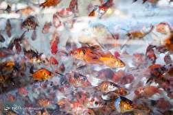 باشگاه خبرنگاران - بازار فروش ماهی قرمز