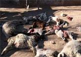 باشگاه خبرنگاران - حمله ۲ گرگ به گوسفندان روستای سرآسیاب لنده