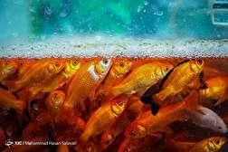 باشگاه خبرنگاران - بازار فروش ماهی قرمز - مشهد