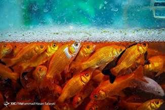 بازار فروش ماهی قرمز - مشهد