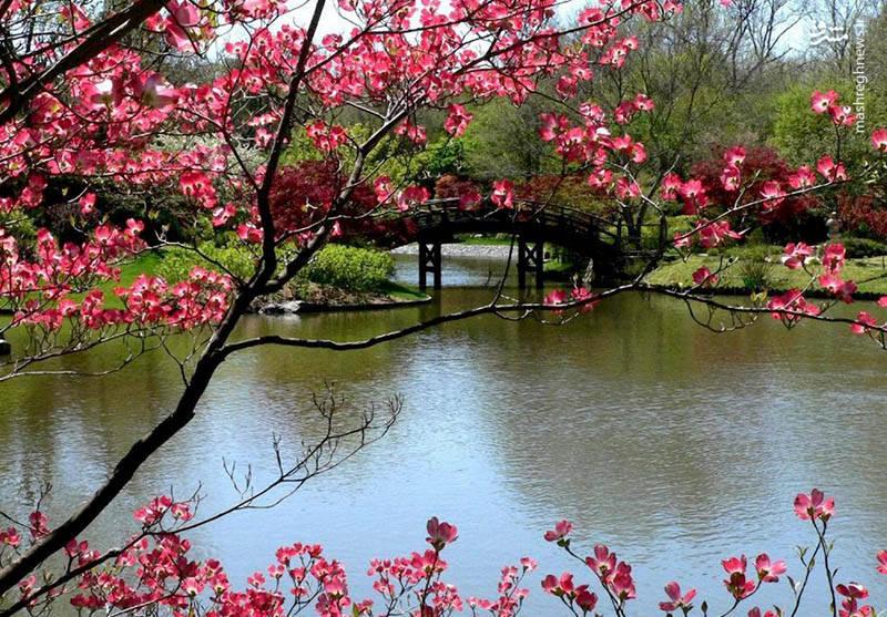 طبیعت بسیار جذاب ژاپن در بهار+تصاویر
