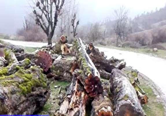 باشگاه خبرنگاران -قلع و قمع درختان در روستای «پلنگر» + فیلم