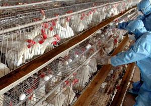 شیوع آنفلوانزای حاد پرندگان یک فاجعه ملی است/کاهش 30 درصدی اعتبار صندوق بیمه در بودجه سال آینده
