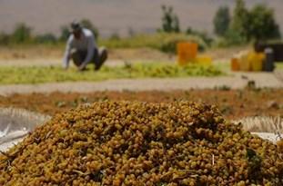 افزایش صادرات کشمش از استان زنجان