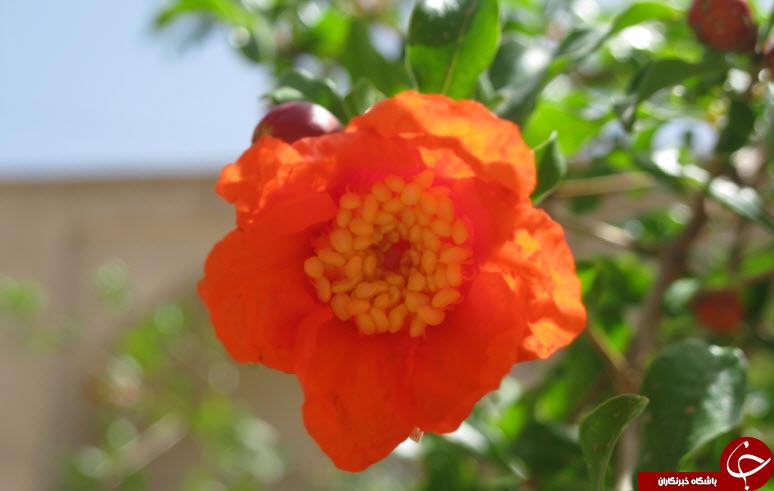 شکوفههای زیبای درخت انار در کاشان + تصاویر